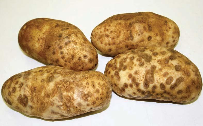 kentang-tua