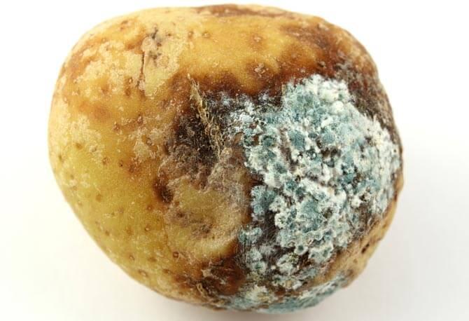 rotten-potato