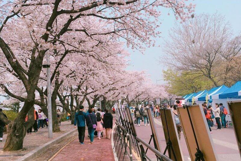 melihat bunga sakura